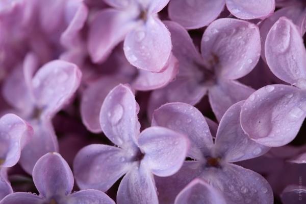 Purple Lilacs courtesy of Photl.com