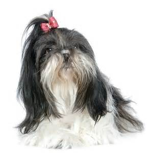 Source.  This is what Puppy looked like even down to the ponytail. High maintenance but worth it. :-)