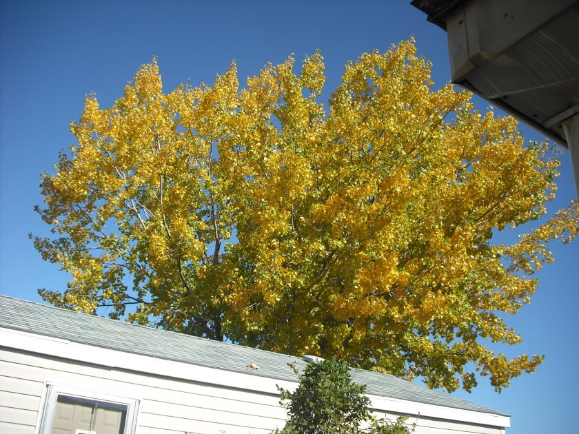 Neighbors Tree from my front porch. (c) JLPhillips 2014
