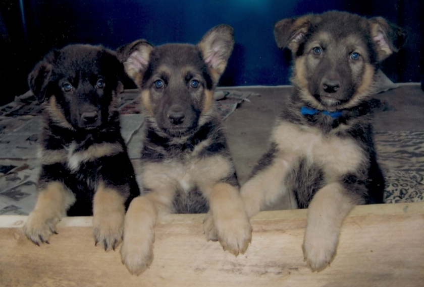 German-Shepherd-puppies-puppies-9725981-1100-747