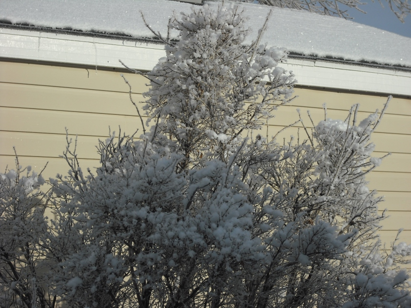 a bush in my yard full of ice and snow and looking beautiful.