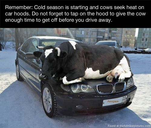 funny-cow-heat-winter-snow-morning