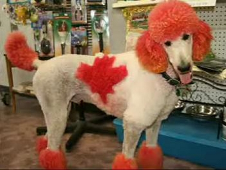 poodle-colours